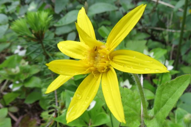 Arnica cordifolia 05-06-2013 Clearwater 192