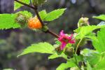Prachtframboos (Rubus spetabilis) 29-05-2013 Vancouver-Island  Parksville 146 (49)