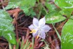 Western starflower (1)